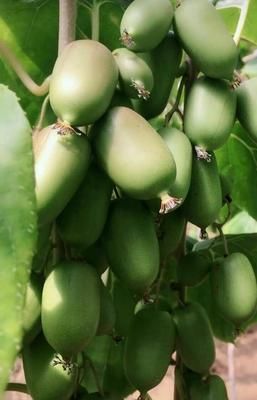 这是一张关于软枣猕猴桃苗 实生苗的产品图片