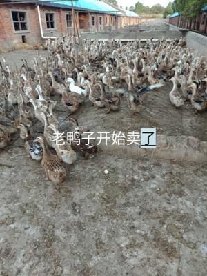 江西省宜春市丰城市麻鸭 公 半圈养半散养 5-6斤