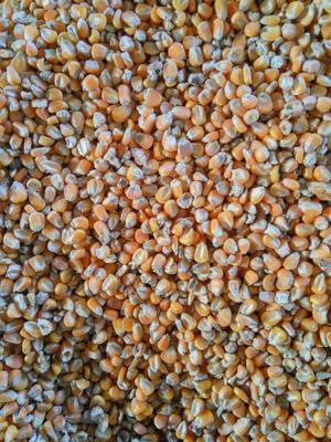 这是一张关于德单5号玉米粒 霉变≤1% 杂质很少的产品图片