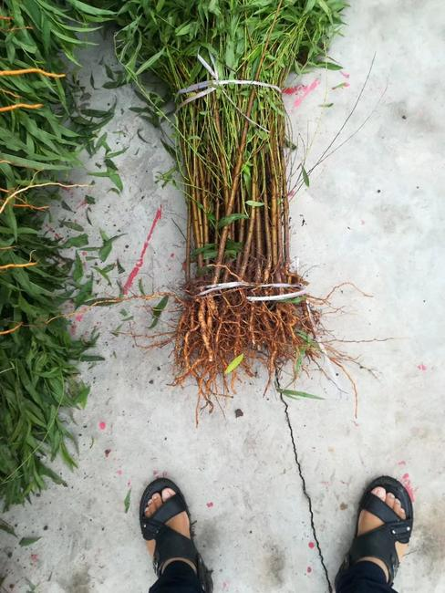 毛桃苗 0.5~1米