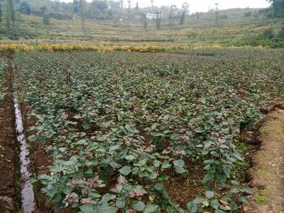 重庆九龙坡区紫花三角梅 0.5~1.0米