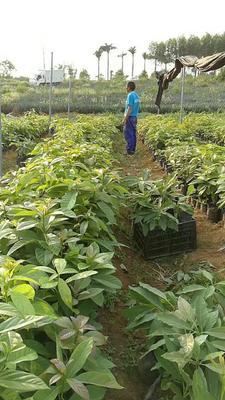 广西壮族自治区钦州市灵山县牛油果苗 0.5~1米