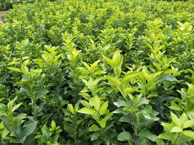 这是一张关于砂糖橘苗 嫁接苗 0.35~0.5米的产品图片