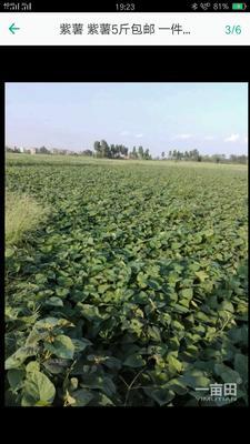 这是一张关于紫罗兰紫薯 混装通货的产品图片