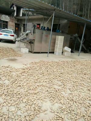 安徽省六安市金寨县小黄姜 带土 3两以上