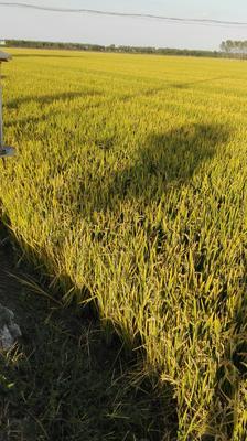 江苏省淮安市洪泽县粳稻谷 晚稻