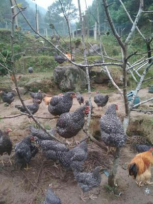 广东省清远市连山壮族瑶族自治县芦花鸡 母 4-5斤