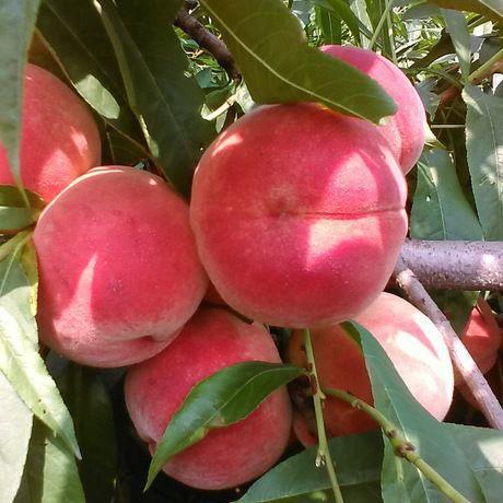 红桃苗 1~1.5米