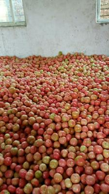 河南省新乡市延津县粉果番茄 不打冷 硬粉 弧二以上