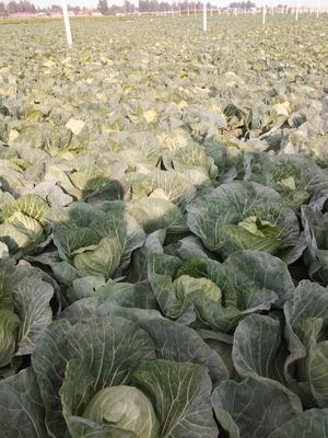 河北省保定市清苑县绿甘蓝 1.0~1.5斤