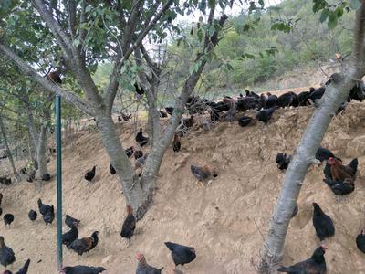 这是一张关于土鸡 统货 2-3斤的产品图片