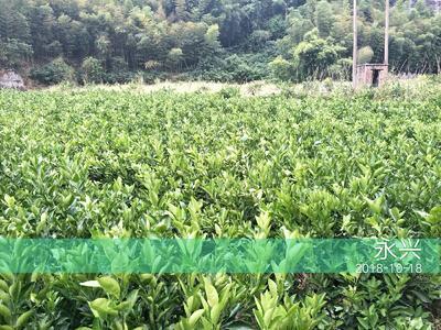冰糖橙树苗 嫁接苗 0.5~1米