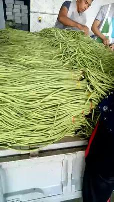 云南省临沧市耿马傣族佤族自治县长豇豆 60cm以上 打冷