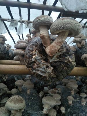 陕西省商洛市商南县普通干香菇 箱装 1年以上