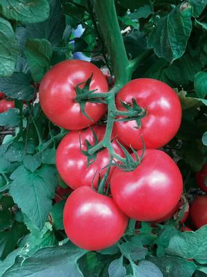 这是一张关于粉果番茄种子 99% 杂交一级的产品图片