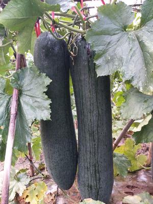 广西壮族自治区南宁市西乡塘区吊冬瓜 15斤以上 黑皮
