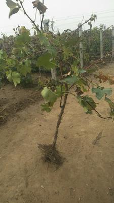 这是一张关于巨峰葡萄苗的产品图片