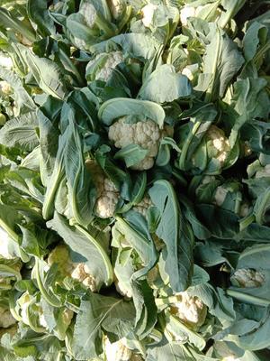湖北省湖北省天门市白面青梗松花菜 适中 3~4斤 乳白色