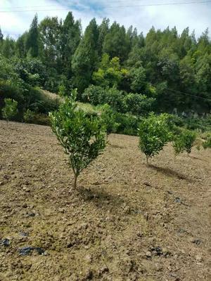 这是一张关于濑户见柑桔苗 挂果树 1.5~2米的产品图片