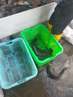 这是一张关于乌鳢 人工养殖 1-1.5公斤的产品图片