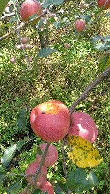 这是一张关于昭通苹果 光果 黄色 70mm以上的产品图片