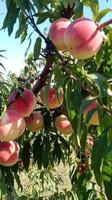 山东省青岛市平度市映霜红蜜桃 80mm以上 5.0两