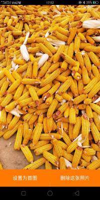甘肃省张掖市高台县玉米干粮 霉变≤1% 杂质很少