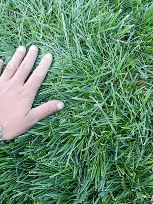 河北省石家庄市裕华区早熟禾草坪