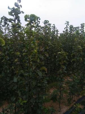 这是一张关于秋月梨树苗 1.5~2米的产品图片