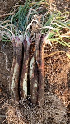 这是一张关于红葱 3cm左右 30~40cm 毛葱的产品图片