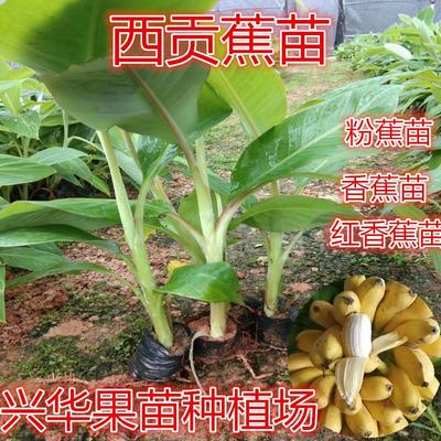 广西壮族自治区钦州市灵山县粉蕉苗