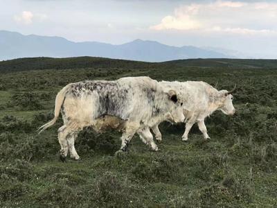 甘肃省武威市天祝藏族自治县天祝白牦牛 200-300斤 统货
