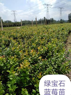安徽省芜湖市南陵县南高丛蓝莓苗