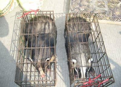 这是一张关于中国狸花猫的产品图片