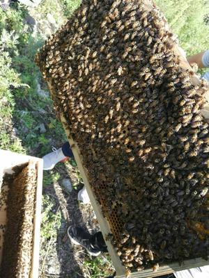 贵州省毕节市七星关区中华蜜蜂