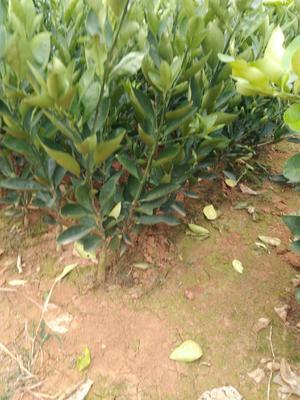 湖北省宜昌市夷陵区伦晚脐橙苗 嫁接苗 0.5~1米