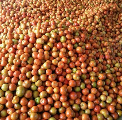 四川省攀枝花市米易县大红硬果 不打冷 大红 弧二以上