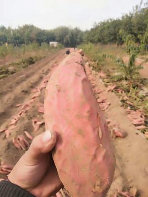 这是一张关于烟薯25 红皮 混装通货的产品图片