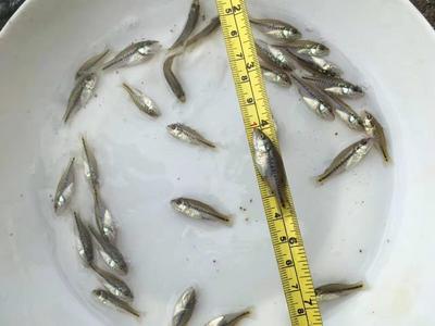 广东省广州市增城区加州鲈鱼 人工养殖 0.5公斤以下