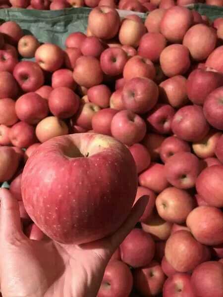 光果 片红 70mm以上  手机预览        位于辽宁省盖州市团甸镇苹果之