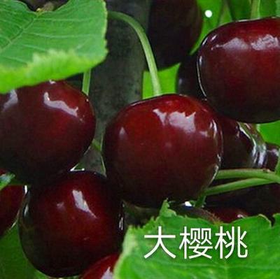 四川省雅安市汉源县红灯樱桃苗