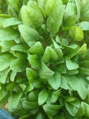 这是一张关于秋菠菜 30~35cm的产品图片