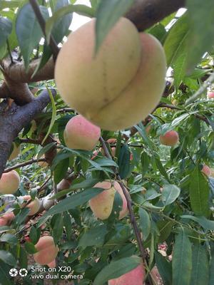 山东省临沂市临沭县映霜红蜜桃 45mm以上 3 - 4两