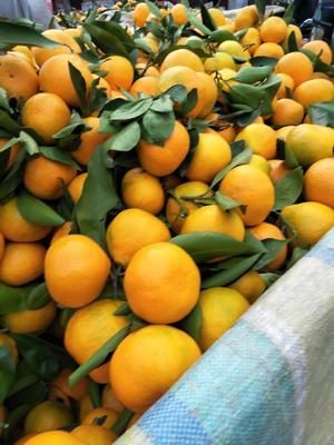 这是一张关于蜜桔 7.5 - 8cm 4两以上的产品图片