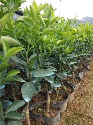 广西壮族自治区桂林市荔浦县茂谷柑苗 杯苗袋苗 0.35~0.5米