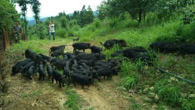 广西壮族自治区桂林市恭城瑶族自治县藏香猪猪苗