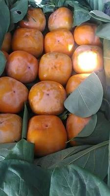 河北省保定市顺平县八月黄柿子 3 - 4两以上