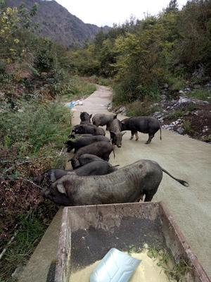 贵州省黔南布依族苗族自治州平塘县黑土猪 80斤以上