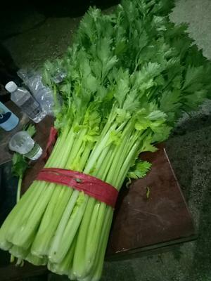 河南省商丘市夏邑县西芹 50~55cm 大棚种植 0.5斤以下