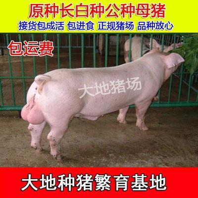 江苏省徐州市新沂市长白猪 20-25斤